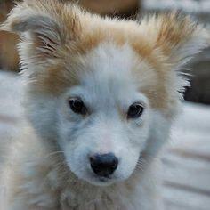 Golden Retriever Husky Mix Google Search Dogs Golden Retriever