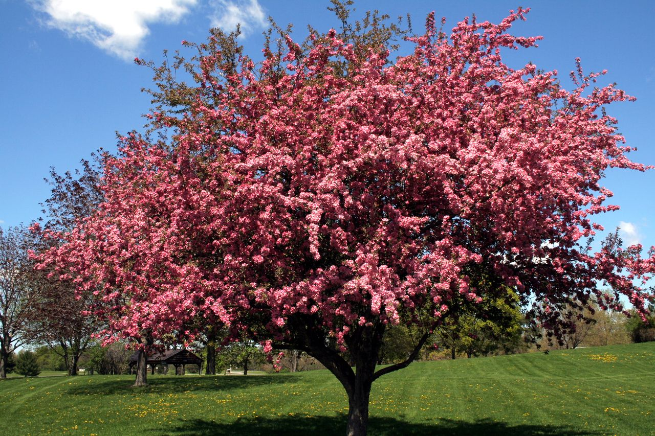 Black Cherry Trees For Sale Online Lowest Prices Crabapple Tree Black Cherry Tree Flowering Cherry Tree