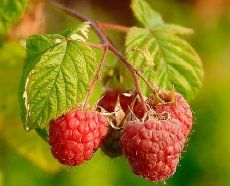How to Grow Raspberries in Containers -