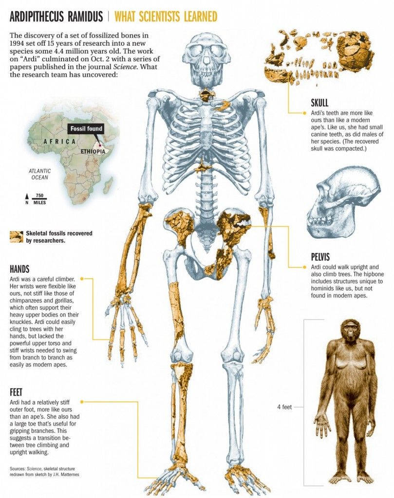 Early Humans Evolution Ardi is the designatio...