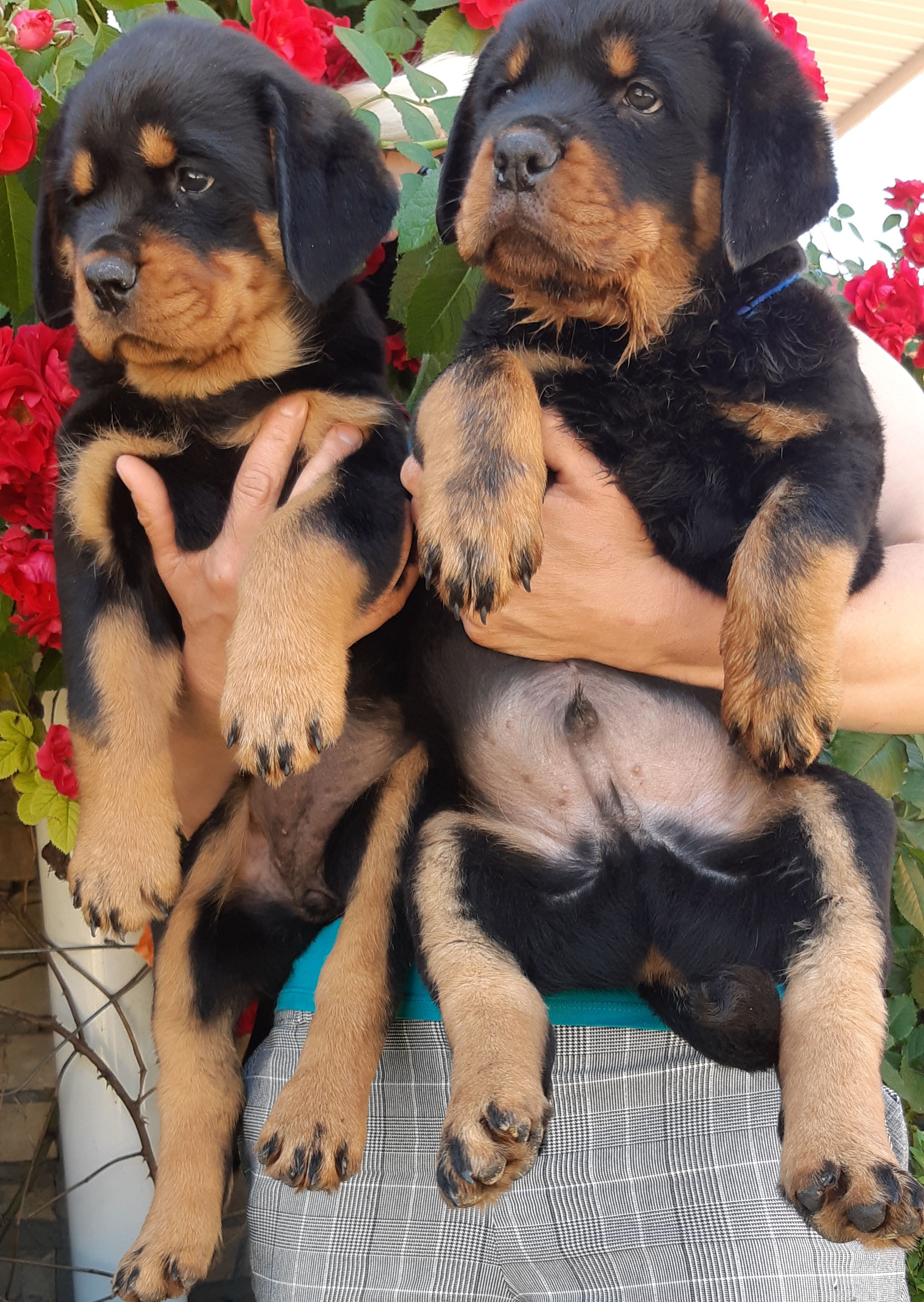 Adorable Rottweiler Babies Would You Like One Right Puppies