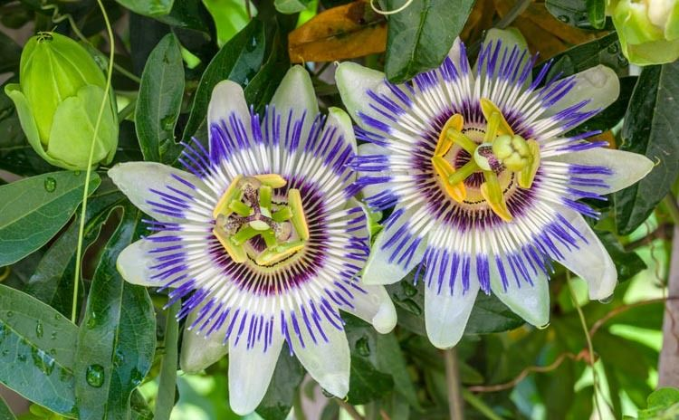 Passiflora Caerulea Blue Passion Flower Blue Crown Common Passion Flower Flower Of Five Wounds Sout Passiflora Caerulea Blue Passion Flower Passion Flower
