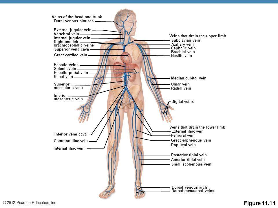 Vertebral Vein Diagram   Wiring Diagram