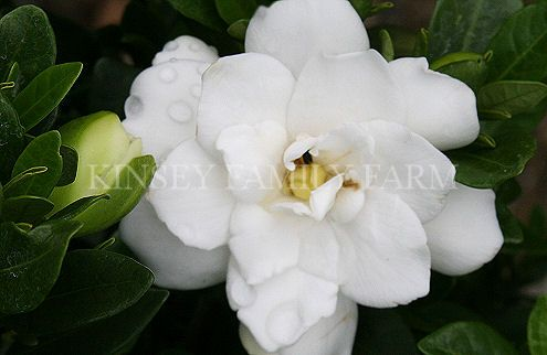 Gardenia Bush For Sale Georgia Flowering Shrubs Plants Shrubs For Sale Beautiful Flowers Gardenia Bush