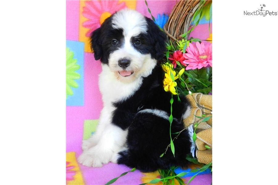 Sheepadoodle Puppy For Sale Near Abilene Texas 1f998a35 Ce41