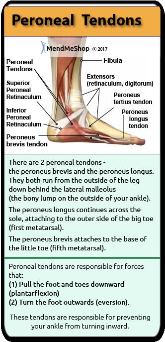 Peroneus Tendon Location Peroneal Tendon Location Health Tips