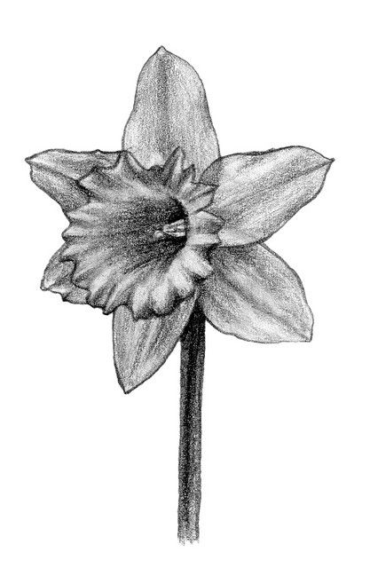 Daffodil Drawings Black and White | 보타니컬아트 | Pinterest ...