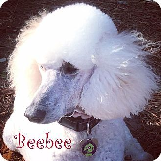 New Jersey Nj Standard Poodle Meet Jackson Nj Beebee A Dog For Adoption Http Www Adoptapet Com Pet 1267 Standard Poodle Dog Adoption Poodle
