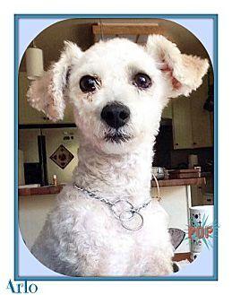 Pin By Kimberly Smythe On Chihauhua Poodle Pets Pet Adoption