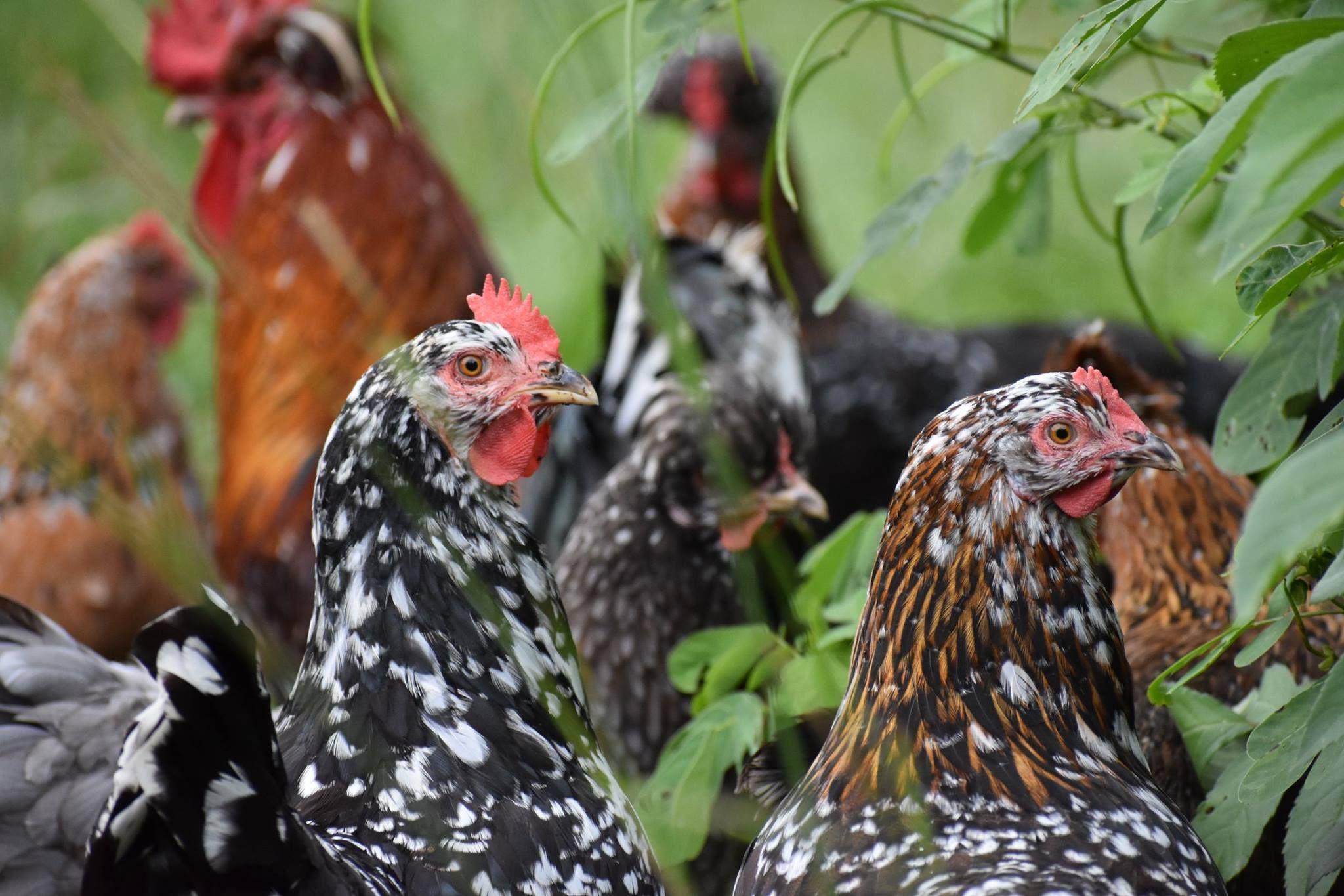 Swedish Flower Hens Swedish flower hen, Hens, Chicken breeds