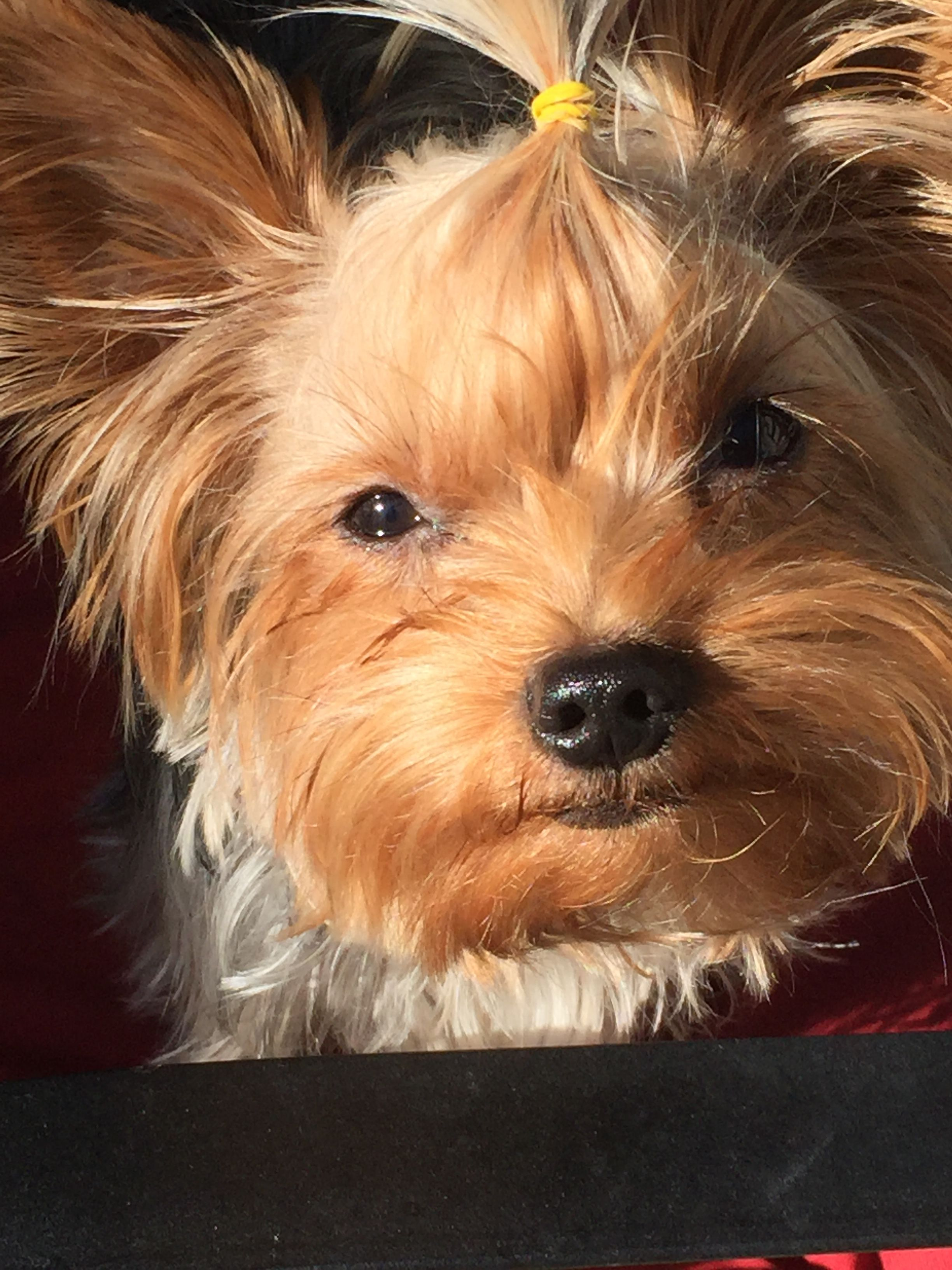 Pin By Peggy B On Yorkies Yorkie Pets Animals