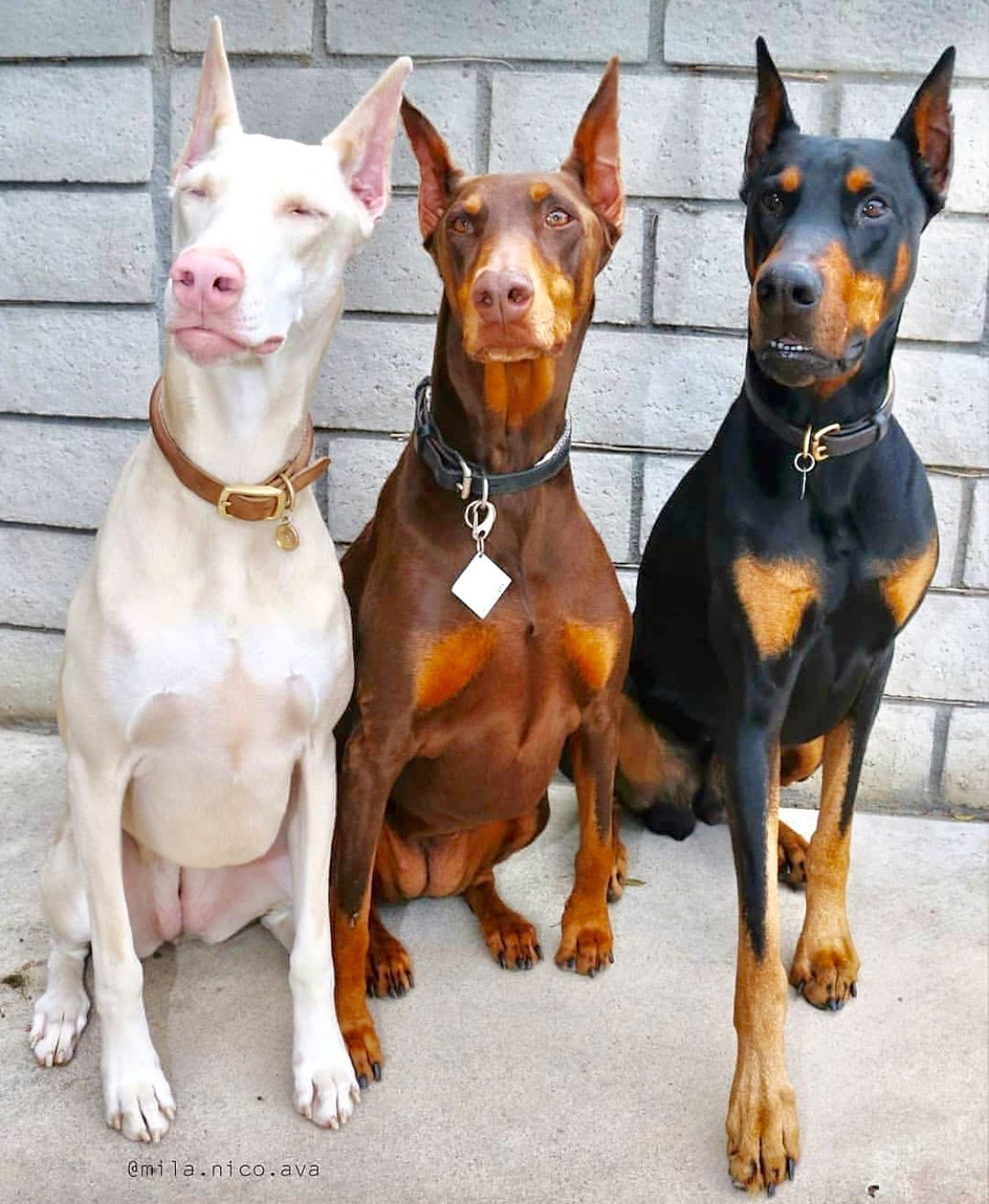 White, Caramel And Black And Tan Doberman