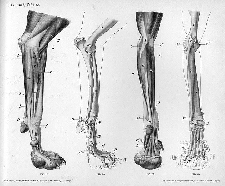 Canine Forearm Zhivotnye Anatomiya Risovat