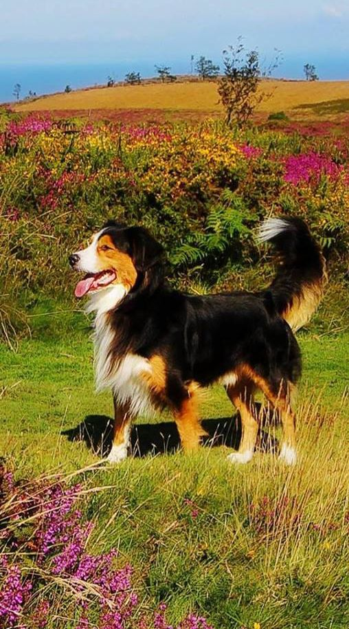 Have You Ever Seen A Toller Cross Collie Mix This Beautiful Dog