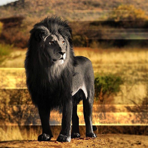 Rare Black Lion Rare Black Lion Animal Melanistic Animals Animals Animals Wild