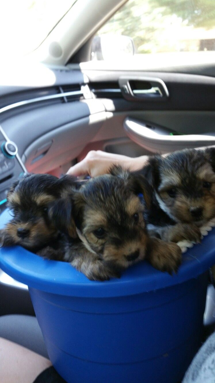 Morkie Pups For Sale 400 Louisiana 318 707 2546 Tails Docked