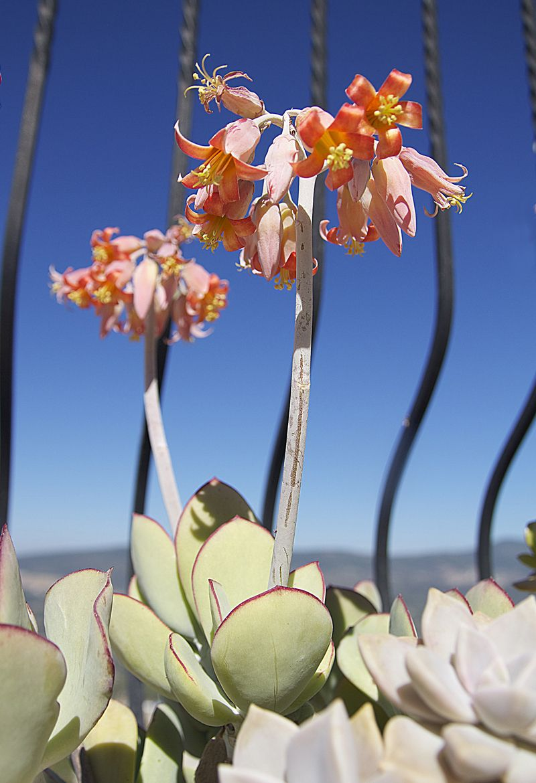 Succulent   福娘系