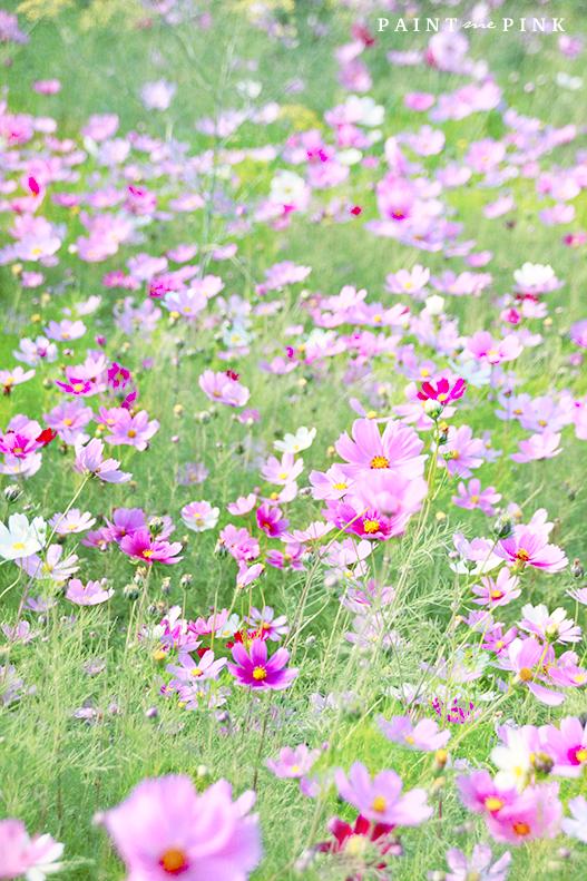 A Field Of Cosmos Cosmos Flowers Wildflower Garden Flower Field