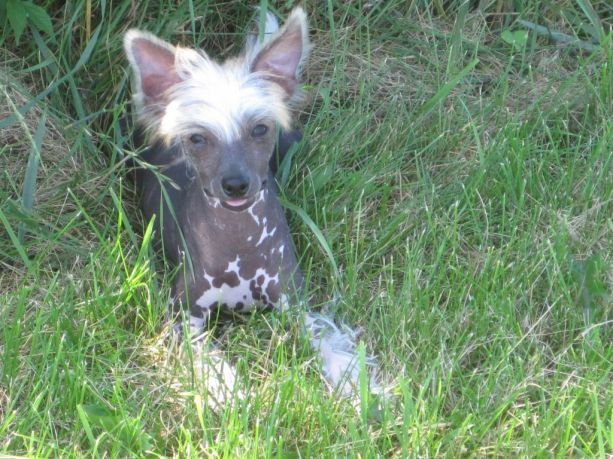 Chinese Crested Dog Breezy Meadows Chinese Cresteds