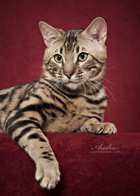Funky Cats Bengals Bengal Cat Breeder Melbourne Victoria Bengal Cat Breeders Bengal Cat Pedigree Cats