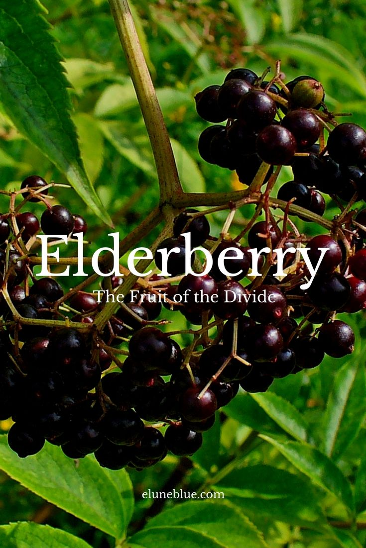 The Fruit of the Divide: Elderberry Magical Properties and