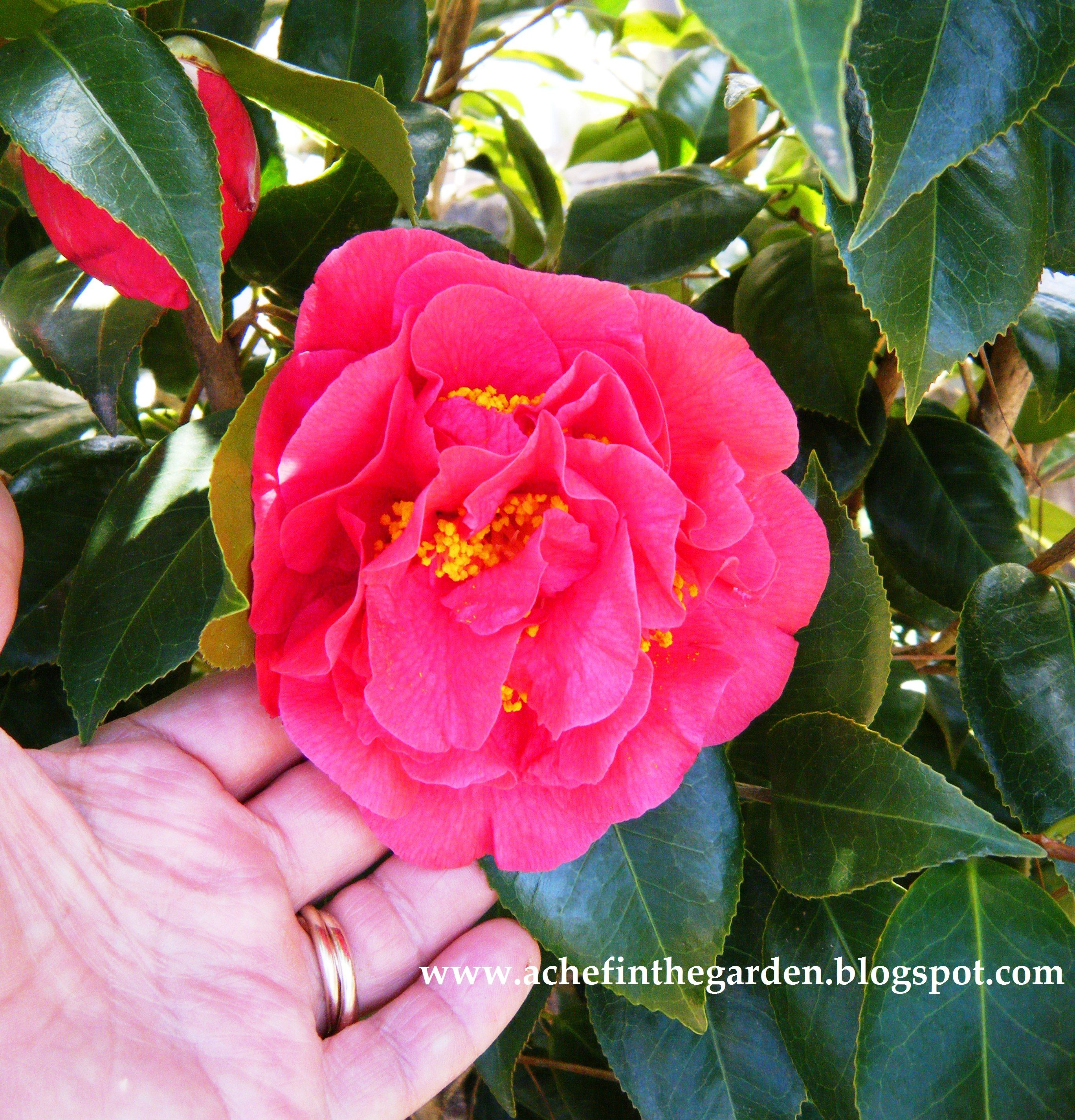 """Camellia japonica """"Kramer's Supreme"""" -- very common, but a classic heavy bloomer"""