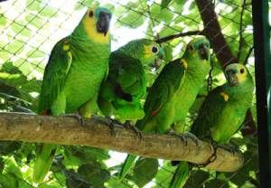 papagaios