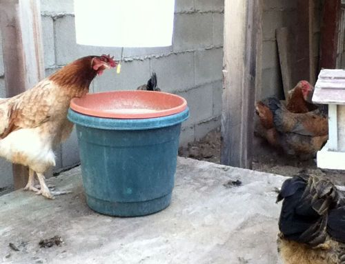 chickens to duck diy a free or mess no this poultry how feeder make chicken rodent proof
