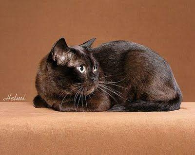Burmese With Images Fluffy Cat Breeds Burmese Cat Cute Animals
