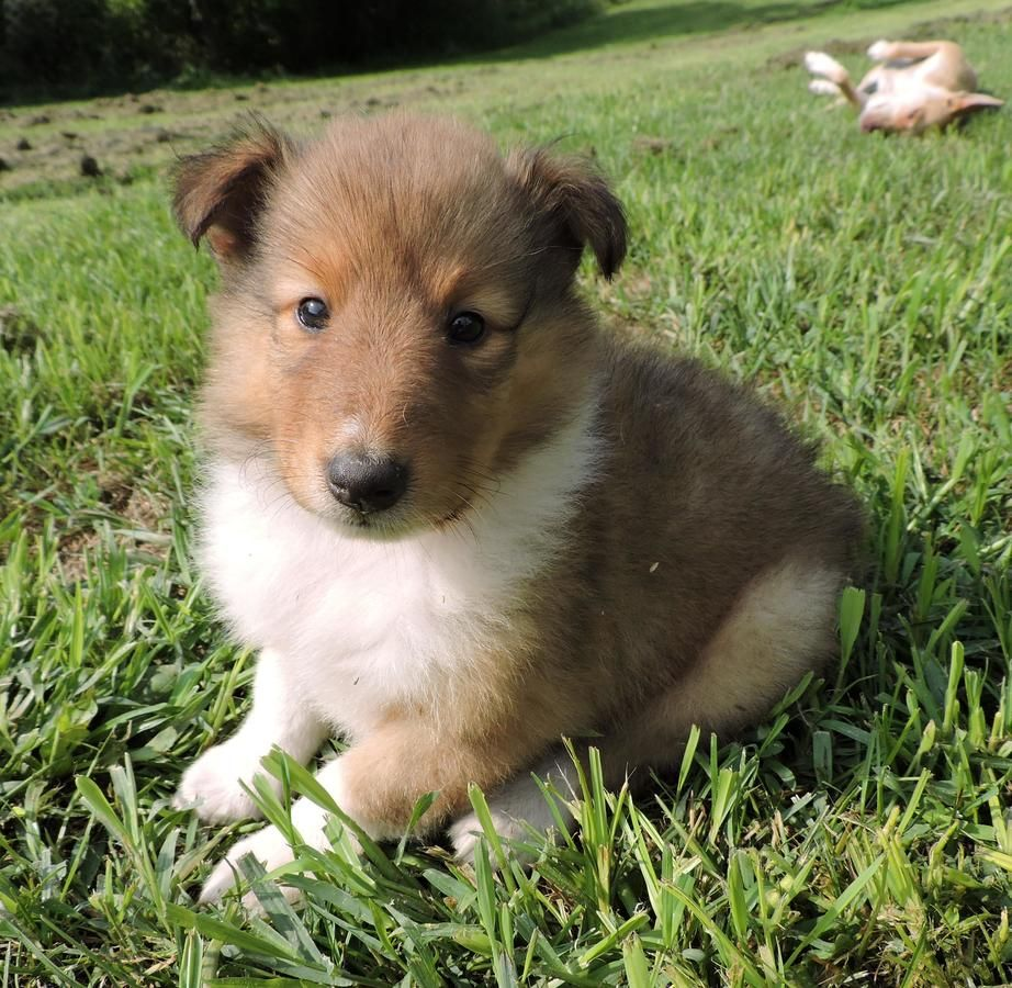 8 Week Old Rough Coated Collie Puppies Collie Puppies Puppies Collie