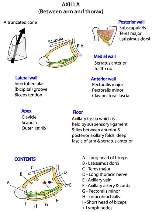 Instant Anatomy - Upper Limb - Areas/Organs - Axilla - Topography ...