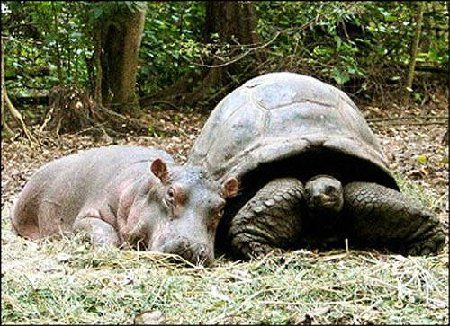 """This baby hippo, Owen, survived tsunami waves that swept him out to the Indian Ocean via the Sabaki River on the Kenyan coast and then was forced back to shore.  Wildlife rangers found him and took him to an animal facility where he formed a strong bond with a giant, male, century-old tortoise.  They swim, eat, and sleep together, and the tortoise seems to enjoy """"motherhood""""."""