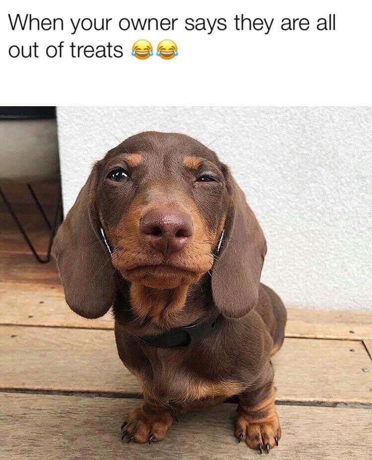 Stank Eye This Is A Real Thing In Dachshunds Don T Dare