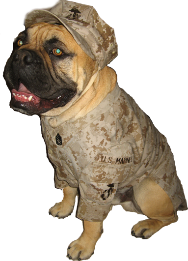 Meet Gunny Monster He Is An Olde English Bulldogge He Is Available For Mascot Service For Marine Events And Or Events That Mascot Olde English Bulldogge Gunny