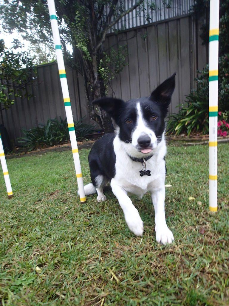 Instant Weave Poles Dog Agility Dog Training Agility Training