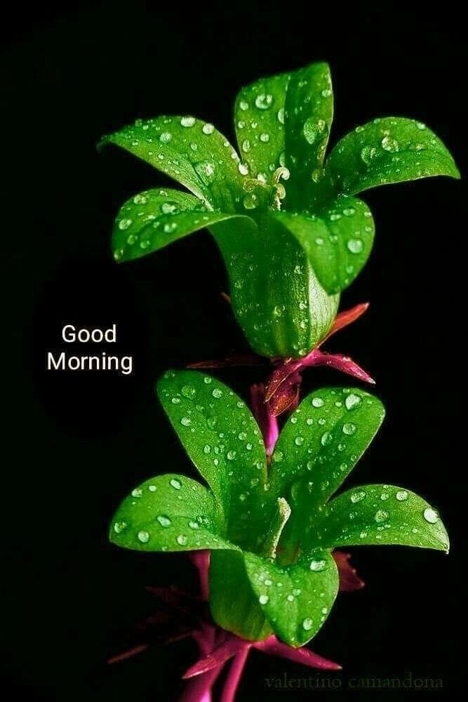 Green Joba Good Morning Flowers Good Morning Images Flowers Good Morning Greetings