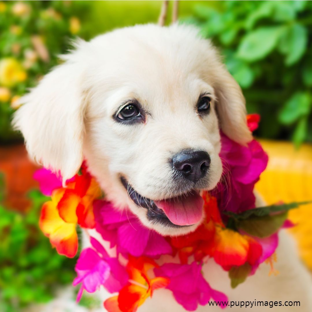 2 Month Old White Golden Retriever Puppy