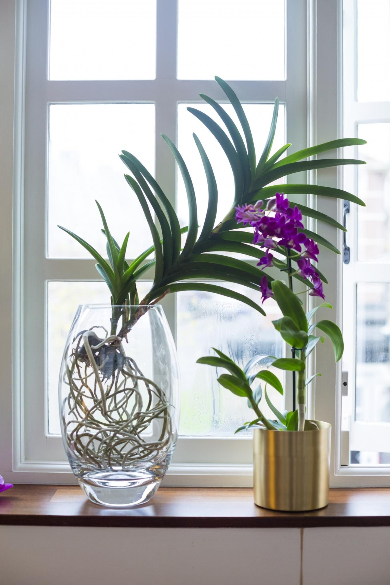 24789245b6475a A Vanda orchid and a Dendrobium orchid on a windowsill.