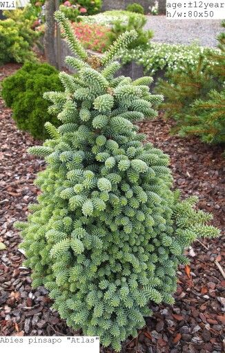 Abies Pinsapo Atlas Awesome Conifers Garden Shrubs Garden