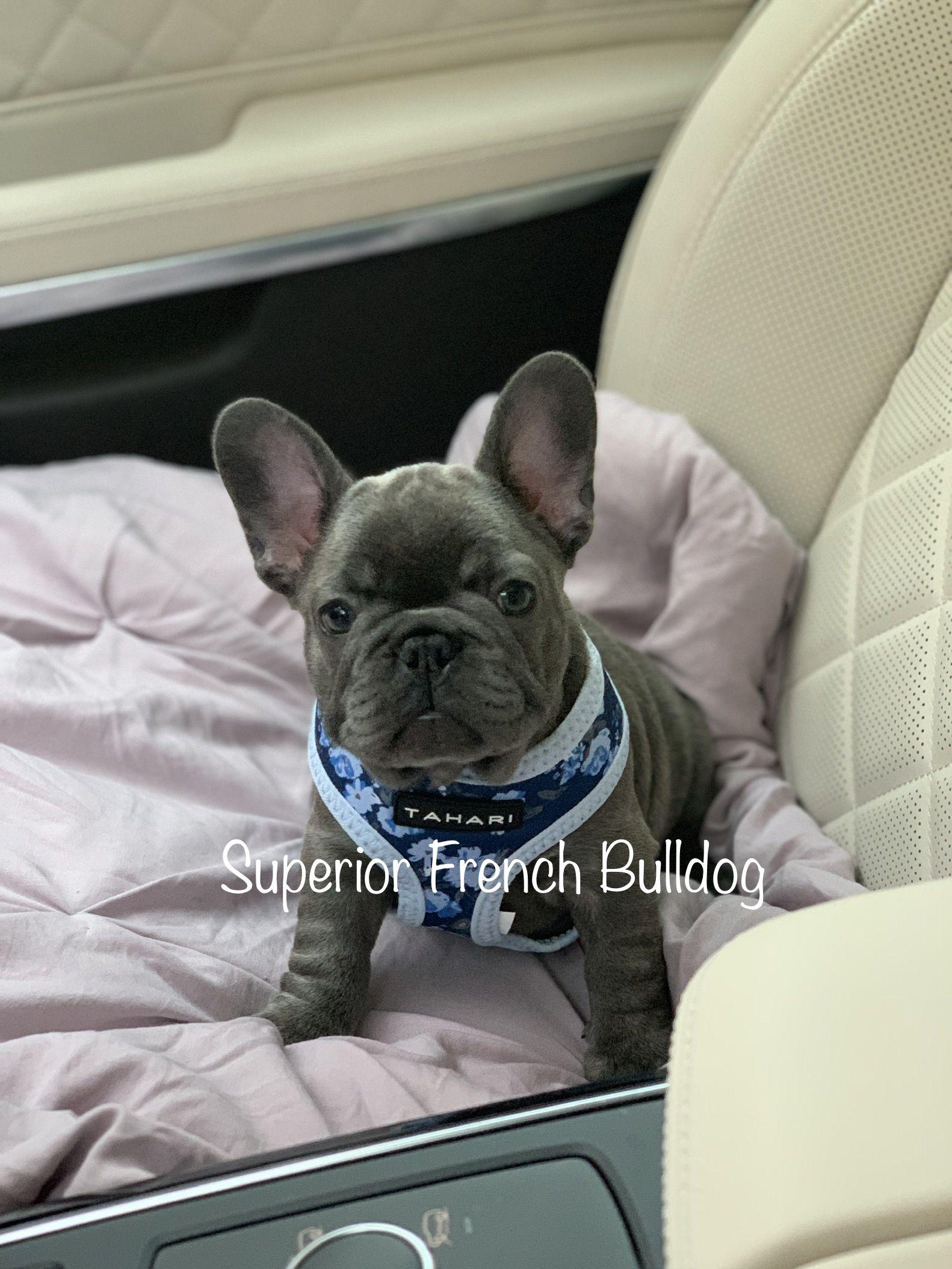Pin by Superior English Bulldogs on French Bulldog