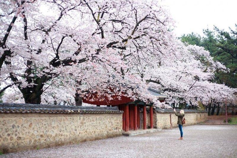 Top 5 Cherry Blossom Festivals In South Korea In 2017 Cherry Blossom Cherry Blossom Season Cherry Blossom Festival