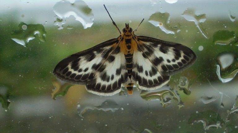 Pics Of Moths  Striking Small Magpie Moth That Llywelyn Caught In Unique Small Moths In Bathroom Design Inspiration