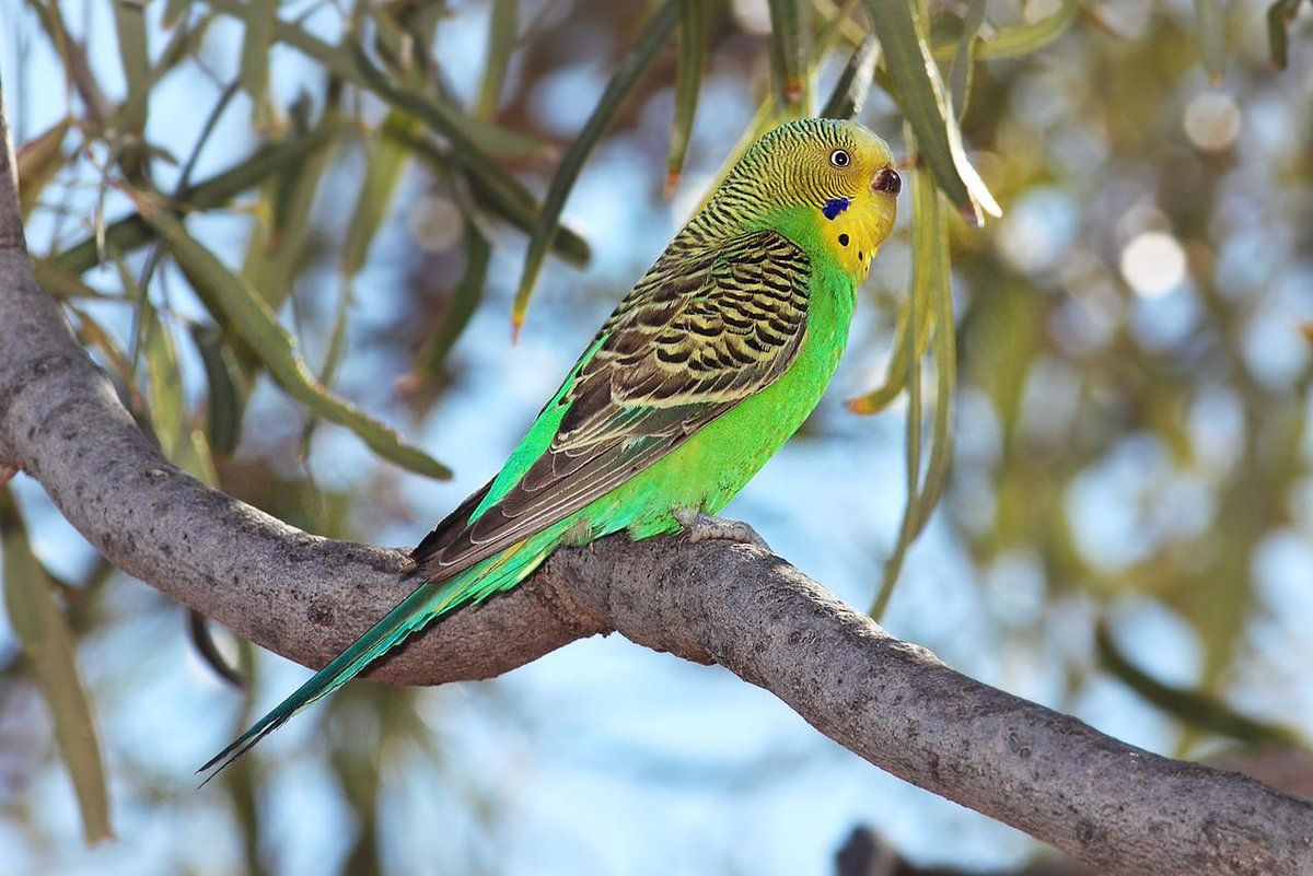 Pin by Judith Mary on Birds Budgerigar, Budgies bird