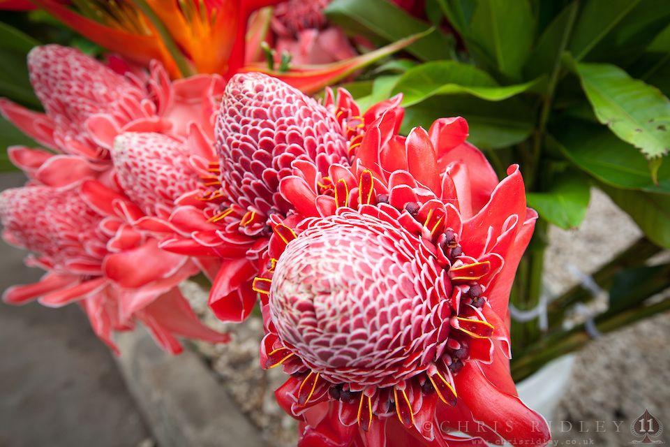 Ginger Flowers At Port Vila Market Efate Island Vanuatu South Pacific South Pacific Stock Photography For License Instant Downl Port Vila Flowers Vanuatu