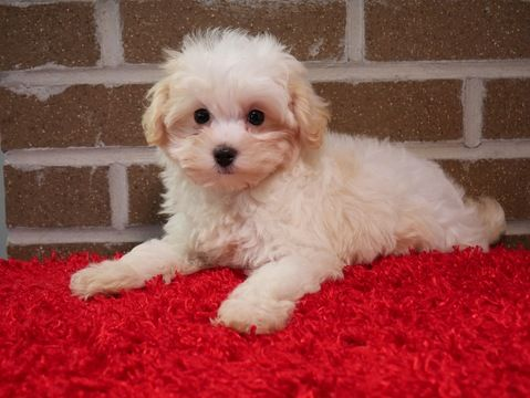 MalteseMaltipoo Mix puppy for sale in KENT, OH. ADN51464