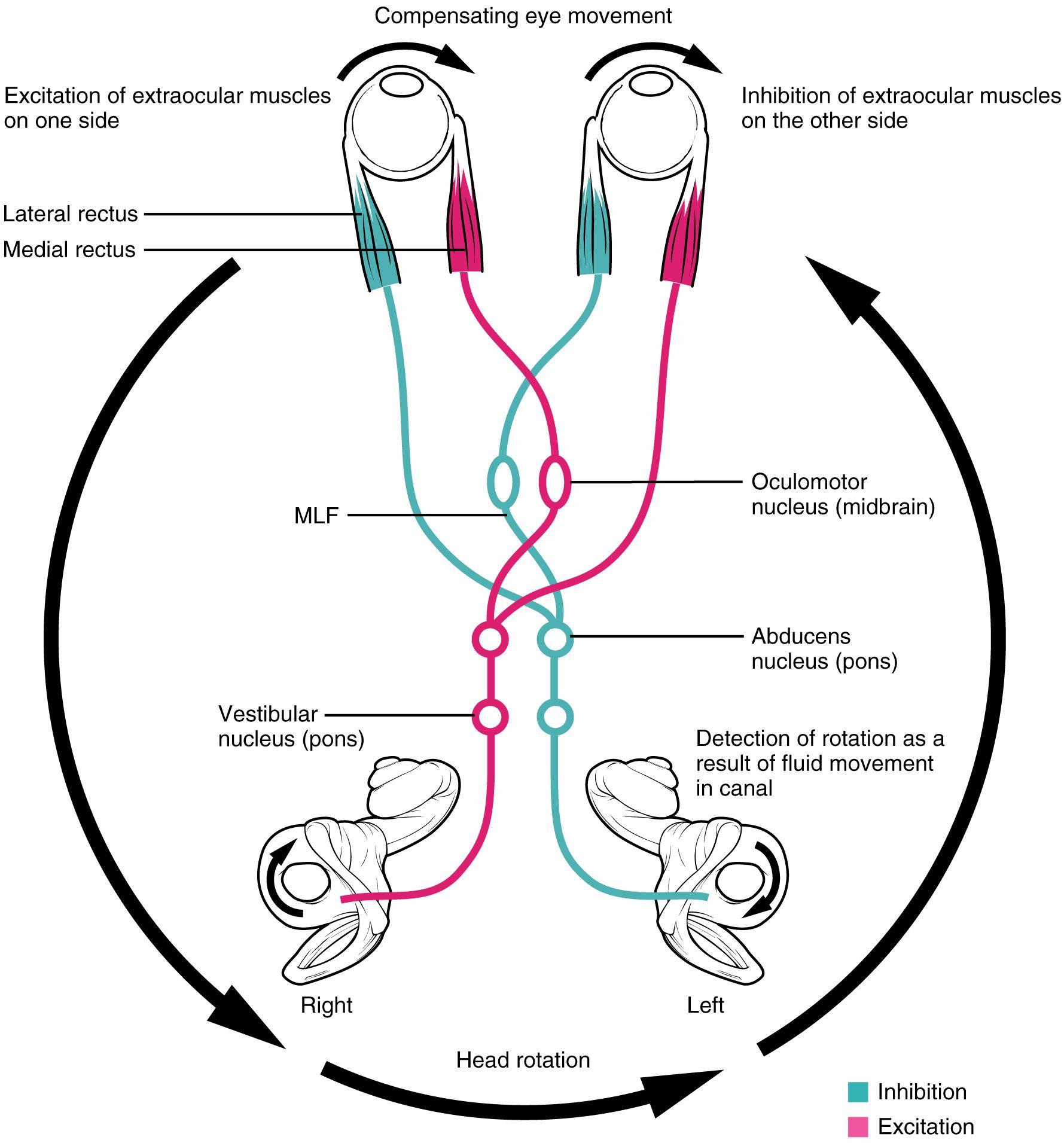 Vestibulookuläre Reflex (VOR) und Hirnnerv VIII: Nervus ...