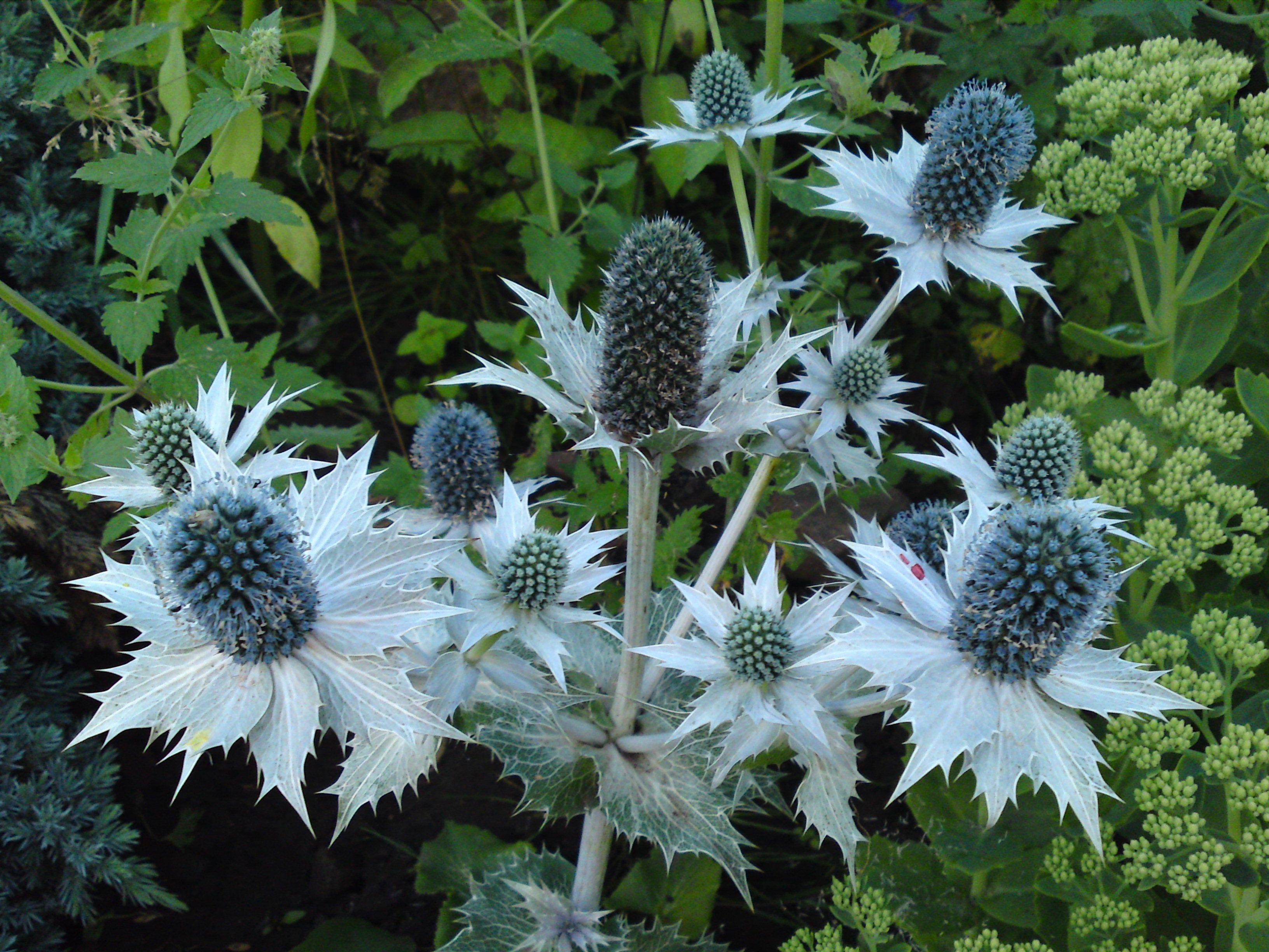 Eryngium giganteum 꽃
