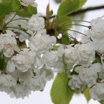 Prunus snow goose buy cherry blossom tree flowering cherry trees prunus snow goose buy cherry blossom tree flowering cherry trees mightylinksfo