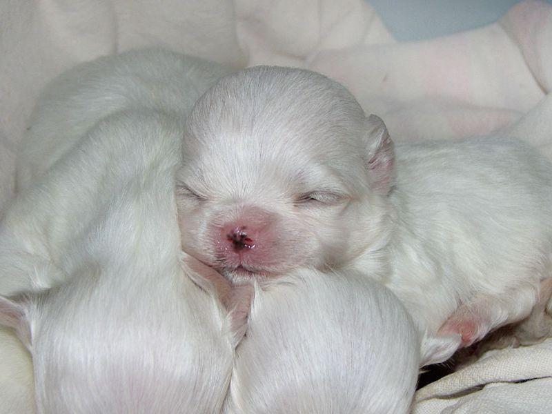 Pics Of Maltese Pups Newborn Our Lovely Newborn Maltese Puppy