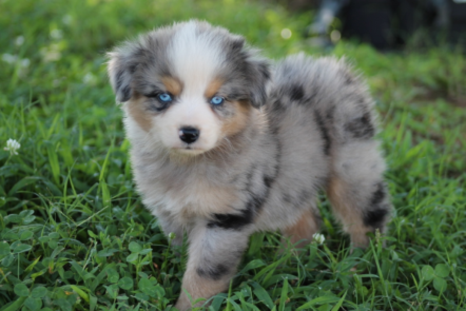 The Lovable Miniature Australian Shepherd Miniature Australian